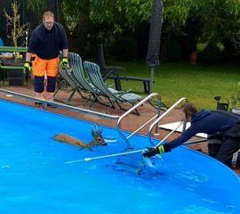 26.06.18 : Reh im Swimmingpool – Feuerwehr Quarrendorf rettet Reh aus misslicher Lage